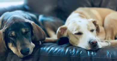 Safety Tips for Using CBD for Your Pet