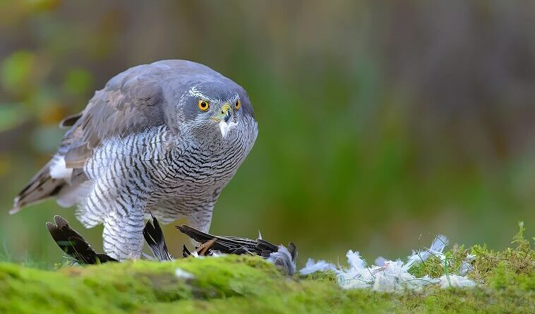 Interesting Facts about How Hawks Hunt Their Prey